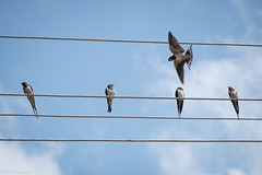 Always one show off... (Through_Urizen) Tags: animalsbirdsinsects birds category erdek kapidag places turkey swallows bird birdsonawire birdinflight canon70d canon bluesky wildlife canon1585mm cable sky lines