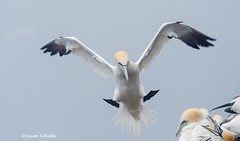 Landing precision needed (Photosuze) Tags: gannets northerngannets flying landing flight animals nature wildlife birds aves avians