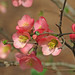 waiting for the flowering quince to bloom