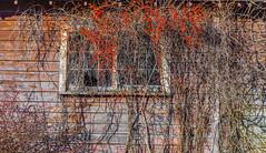 Overgrown Windows (John Kocijanski) Tags: red building barn windows rustic wall weathered canon24105mmf4l canon5dmkii abandoned