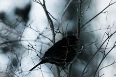 Winter Queen (TheSaOk) Tags: blackbird mustarasta bird lintu talvi winter yleluonto