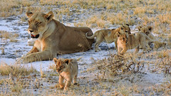 Lioness with her 4 cubs (BaliDave2) Tags: namibia wildlife lioness lion cubs africa 2018 lioncubs