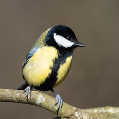 DSC_6376.jpg (dan.bailey1000) Tags: bird ireland wildlife greattit kilcascan westcork