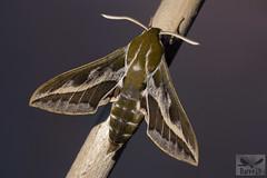 Esfinge de las Tabaibas - Hyles tithymali ( BlezSP) Tags: gran canaria moths mariposas sphingidae esfinge de las tabaibas canarias canary islands butterflies lepidoptera fauna insular