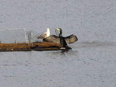 Cormorant at Drumpellier Country Park (luckypenguin) Tags: scotland northlanarkshire coatbridge drumpelliercountrypark