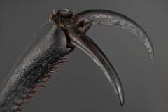 10X Ground Beetle Claw (guraydere) Tags: macro insect beetle groundbeetle extrememacro