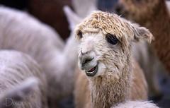 20190316-Alpaca-3433 (Karen Dixon Photography) Tags: alpaca cute adorable animal rockymountains