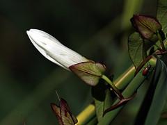 Liseron en bouton (Jean-Marc Linder) Tags: fleur flower fiore macro diagonale coth coth5 alittlebeauty ngc