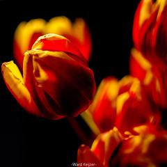 In flames (wardkeijzer_107) Tags: tulips tulip fire tulpen tulp nikon nikkor35mm d7200 holland lightroom dof bokeh light artistic paint with