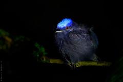 Blue-crowned Manakin. Saltarín de Corona Azul. Lepidothrix coronata. (Daniel Sziklai G.) Tags: amazonas ecuador mandicocha napo río tribupilchi yasuni bluecrowned manakin saltarín de corona azul lepidothrixcoronata aves birds