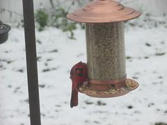Cardinal (creed_400) Tags: cardinal bird seed belmont west michigan autumn fall