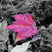 red leaf on B&W - creating contrast