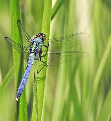 Dragonfly - Libellule (P9_DSCN8981-1PE-20180810) (Michel Sansfacon) Tags: dragonfly libellule nikoncoolpixp900 parcnationaldesîlesdeboucherville parcsquébec faune