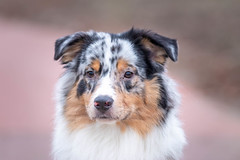 Sky (Hetwie) Tags: skye animal brouwhuis dogaustralianshepherd hond huisdier pet dog