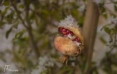 pomegranate (foula.tsitipidou) Tags: fruit small orange yellow red winter snow