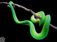 Chondro Python. aka: Green Tree Python (The Number 27) Tags: chondro python green tree morelia viridis young juvenile snake thenumber27 series ontogenic colour change