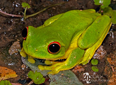Red-eyed or Orange-eyed Tree Frog (Litoria chloris) (McCall Wildlife Photography) Tags: 2019 australia d7500 eungellanationalpark january queensland frog treefrog litoria litoriachloris ranoidea wildlife wildlifephotography animal nature outside redeyedtreefrog orangeeyedtreefrog amphibian