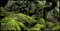 Mossland. (curly42) Tags: woodland devon wistmanswood dartmoor countryside dartmoornationalpark