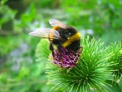 beeee (belight7) Tags: uk bee flower