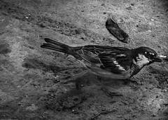 Gorrioneos finales (César González Álvarez - Fotografía) Tags: bird san pedro de atacama chile