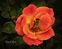 Bee Red (Visions by Vincent) Tags: fantasticnature florida flowers bee topaz ngc greatphotographers naturalgroup