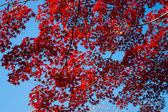 Red maples in Arisugawa Park (有栖川宮記念公園) (christinayan01 (busy)) Tags: bird pigeon park garden tokyo japan autumn fall maples tree leaf koyo red leaves
