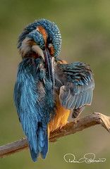 common kingfisher (TARIQ HAMEED SULEMANI) Tags: sulemani supershot sensational birds nature winter wildlife bird tariq tourism trekking tariqhameedsulemani travel