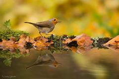 OTOÑO (Carlos Cifuentes) Tags: otoño autumn petirrojo paporrubio erithacusrubecula europeanrobin wildlife wildlifenature nature natural bird birds carloscifuentes