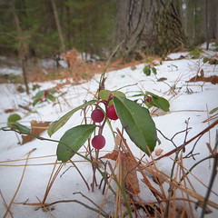 Wintergreen (yooperann) Tags: gaultheria procumbens wintergreen red berries snow winter marquette upper peninsula michigan