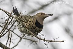 Northern Flicker IMG_0128 (ronzigler) Tags: northernflicker woodpecker bird birdwatcher avian sigma 150600mm nature wildlife canon