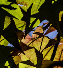 Back Lit Leaves With Colors, Shapes And Shadows (Bill Gracey 23 Million Views) Tags: leaves backlit backlighting sky colors green orange red yellow lakeside naturallight naturephotography naturalbeauty autumncolors shadows silhouettes abstract