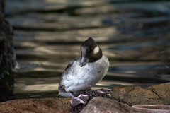 Wild Bird Rehabilitation (Eric Bloecher) Tags: duck monterey bay aquariums wild bird rehabilitation program animal animals