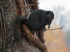 IMG_1709 (lbj.birds) Tags: kansas nature flinthills squirrel easternfoxsquirrel melanisticeasternfoxsquirrel