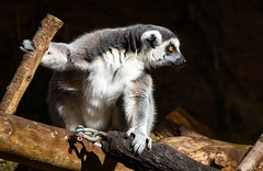 Lemur (maytag97) Tags: maytag97 nikon d750 tamron 150600 150 600 lemur nature catta cute animal mammal fur white sitting species eyes zoo black portrait face outdoors sweet looking close funny eye portland oregon primate