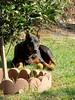 Koia (marolynh) Tags: koia pet dog doggie dobie doberman cutie