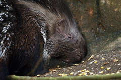 Stachelschwein (Michael Döring - thx for 20.000.000 views) Tags: gelsenkirchen bismarck zoomerlebniswelt zoo stachelschwein afs600mm40e d7200 michaeldöring