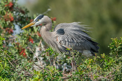 The poofy look (ChicagoBob46) Tags: greatblueheron blueheron heron bird veniceareaaudubonrookery rookery florida nature wildlife ngc npc coth5 naturethroghthelens
