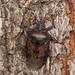Rhaphigaster nebulosa (David_W_1971) Tags: hemipterashieldbugs mallorca2018