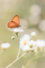 """""""Bien perché"""" (regisfiacre) Tags: lycaena virgaureae cuivré verge or orange papillon butterfly schmetterling farfalle insect insecte insekt bug bugs ailes wings nature sauvage wild wildlife macro macrophoto macrophotography macrophotographie canon 5div mark iv 4 plein format full frame sigma 150mm apo ex dg os hsm moselle france eté summer sommer"""