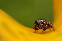 IMG_8621 (komusinmarek) Tags: evarcha arcuata jumpingspider jumping spider arachnidae salticidae skakun greeneyes pyrgun yellow green little cute sweet macro