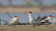 Caspian Tern (harshithjv) Tags: bird birding wader shorebird tern caspian caspiantern hydroprogne caspia charadriiformes laridae aves avian canon 80d tamron bigron g2