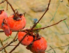 "Blue Chapim ""Somebody is watching me..."" (cami.carvalho) Tags: bluechapim chapimazul bird passarinho garden jardim fruta fruit"