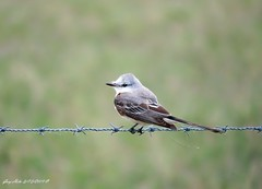 Scissor-tailed Flycatcher (Gary Helm) Tags: bird birds animal wildlife nature outside outdoor image photograph ghelm4747 garyhelm floridawildlife florida osceolacounty scissortailedflycatcher fly flight perch fence wire joeoverstreetroad lifer canon sx60hs powershot camera wood field tree