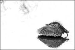 L'ombrelle (FLL087) Tags: bird afriquedusud southafrica nature eau noiretblanc oiseau rivière blackwhite