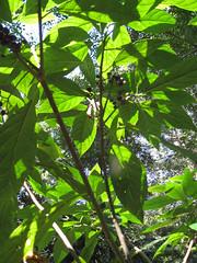 fruit on the Native Hydrangea (Abrophyllum ornans) (imbala) Tags: berries wilsons creek nsw rousseaceae native hydrangea abrophyllum ornans nativehydrangea abrophyllumornans arfp nswrfp qrfp subtropicalarf warmtemperatearf arffs maroonarffs