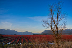Winter Blueberry Fields (Sworldguy) Tags: blueberry fields winter landscape rows red sky mountains britishcolumbia lowermainland bc trees sonya73