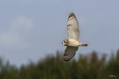 Short-eared Owl / Hibou des marais (shimmer5641) Tags: asioflammeus shortearedowl hiboudesmarais búhocampestre raptor birdsofprey birdsofbritishcolumbia birdsofnorthamerica