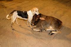Together (SaumalyaGhosh.com) Tags: together two dog cow pair affection india benaras varanasi color street streetphotography night light fuji fujifilm xt2