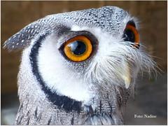 Northern White-faced Owl (Nadine V.) Tags: northernwhitefacedowl whitefacedscopsowl noordelijkewitwangdwergooruil dwerguil strigidae uil ptilopsisleucotis hibou fz200 panasonic panasonicdmcfz200 lumix dmcfz200 wales caldicotcastle monmouthshire