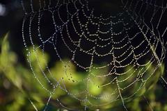 My week macro: Cobwebs hang from the reason/ Telarañas cuelgan de la razón (PURIFM) Tags: spiderweb cobweb drop macro nature nikkor poetry poesia ngc nikon telaraña eau water art